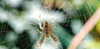 Jak wygląda ugryzienie pająka?
